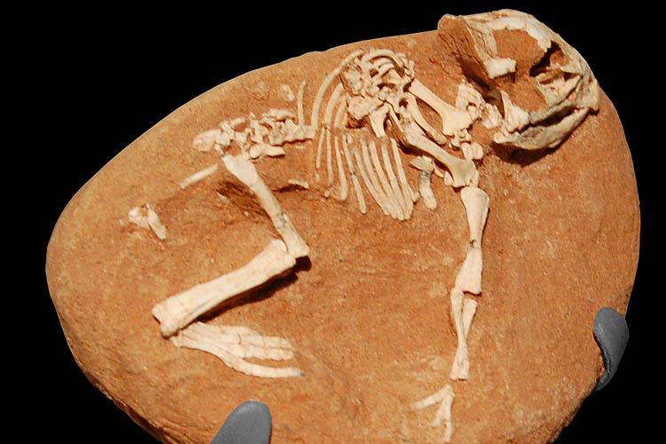 Protoceratids fossil looks like a Griffin