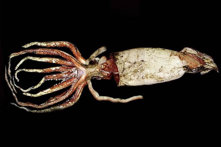 kraken-giant-squid