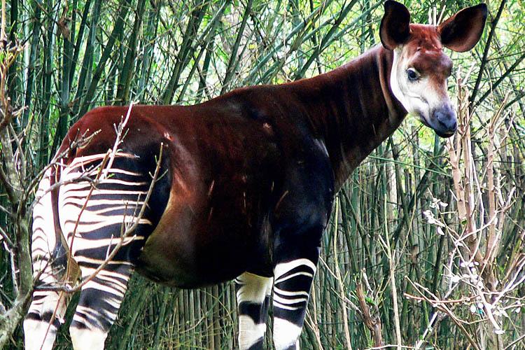 The Okapi