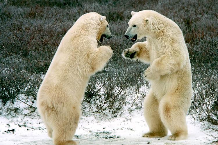 Were Polar Bears once mistaken for Yetis