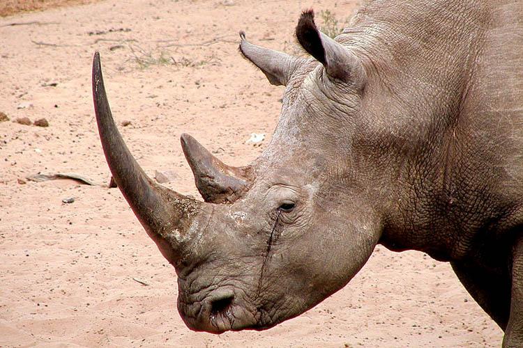 The rhino as a Unicorn